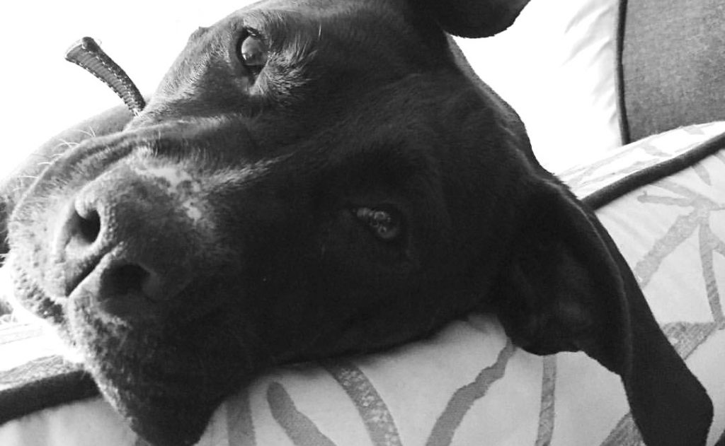 About Why Rescue Pets close up of a black pit bull face lying on a couch