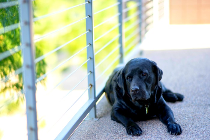 About Pet Rescue Adjustment Period black labrador retriever with sad look on face