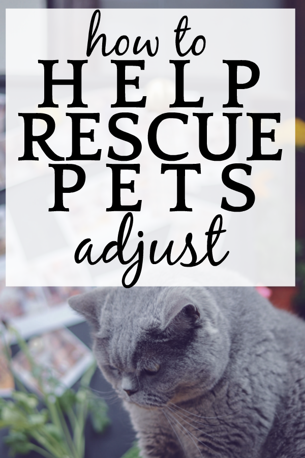 How To Help Rescue Pets Adjust To Their New Home sad gray cat looking down