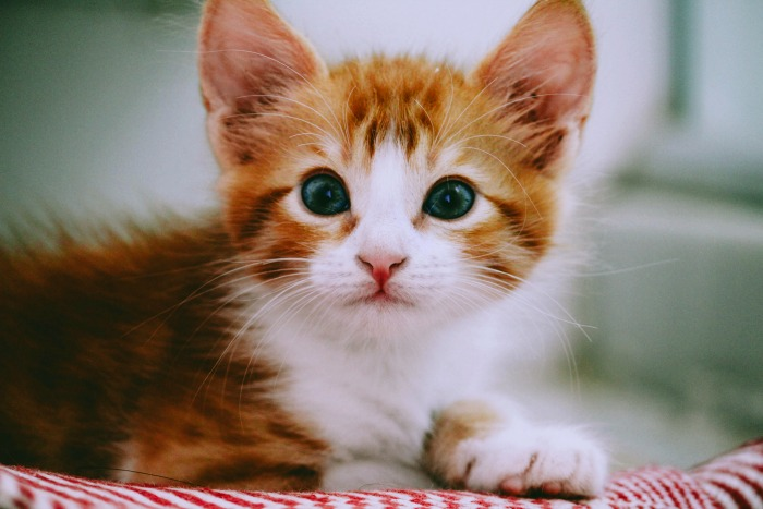 Should I adopt a kitten or a cat?